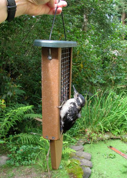 Hairy Woodpecker<br /> 09 JUL 2009