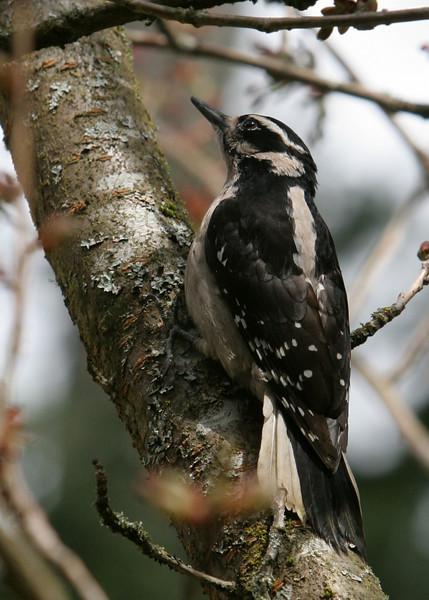 Hairy Woodpecker<br /> 22 MAR 2010