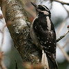 Hairy Woodpecker<br /> 22 MAR 2010