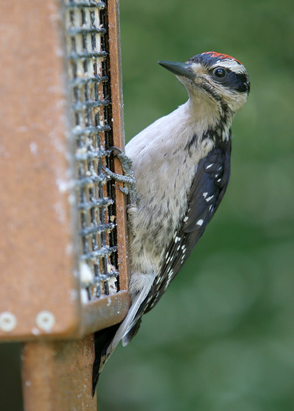 Hairy Woodpecker<br /> 13 JUN 2009