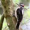 Hairy Woodpecker<br /> 01 MAY 2012