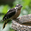 Hairy Woodpecker<br /> 21 JUN 2010