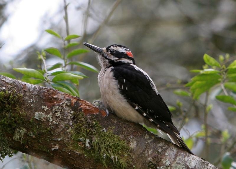 Hairy Woodpecker<br /> 11 APR 2009