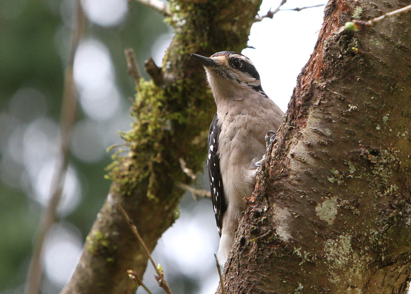 Hairy Woodpecker<br /> 08 APR 2012