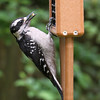 Hairy Woodpecker<br /> 30 MAY 2011
