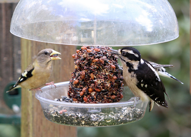 Hairy Woodpecker and Evening Grosbeaks<br /> 18 APR 2011