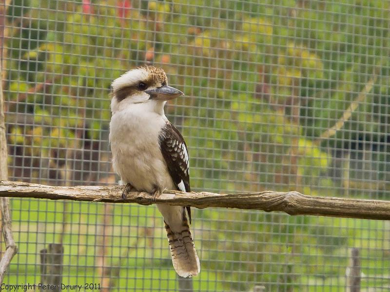 03 July 2011. Laughing Kookaburra at Marwell. Copyright Peter Drury 2011