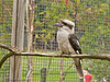 03 July 2011. Laughing Kookaburra at Marwell. Copyright Peter Drury 2011