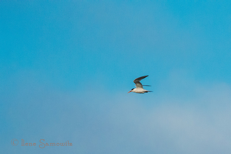 Elegant Terns<br /> <br /> Somehow the date got changed on these and should be August 30, 2013 (08-30-2013)