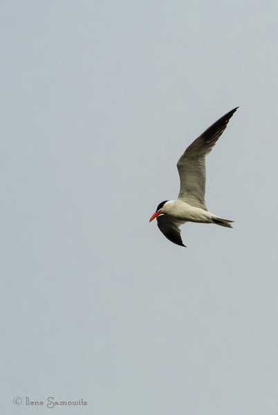 Caspian Tern<br /> <br /> Somehow the date got changed on these and should be August 30, 2013 (08-30-2013)