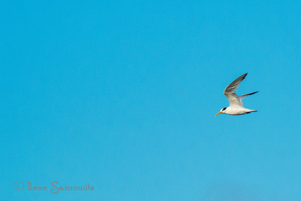 Elegant Tern<br /> <br /> Somehow the date got changed on these and should be August 30, 2013 (08-30-2013)