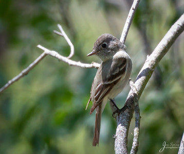 Hammonds Flycatcher