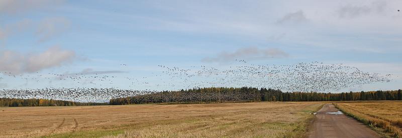 29.9.2012 Hollola, Finland  Flock of 15 000 birds flying