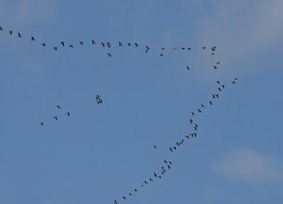 28.05.2013 Helsinki, Finland  Arctic Barnacle Geese