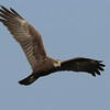 Marsh Harrier..tough bird to shoot for some reason