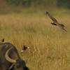Marsh Harrier hunting,Mynas scattering