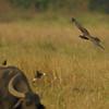 Marsh Harrier hunting,Mynas scattering