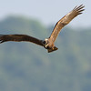 My current nemesis, a Marsh harrier.  Just can seem to nail it!