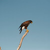 Harris Hawk, Javelina Ranch, Mission, Texas