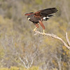 Harris Hawk, Santa Clara Ranch, McCook, Texas