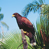 Harris Hawk, Anna Marie Island, Florida