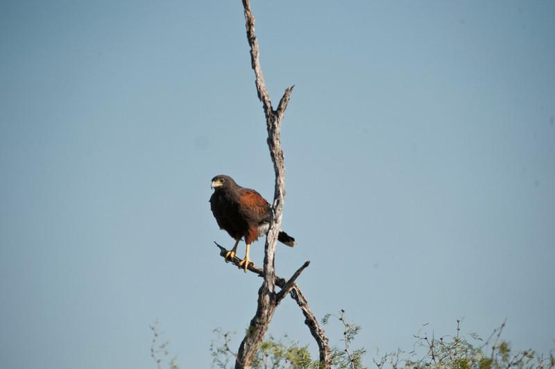 Harris Hawk, Santa Clara Ranch, McCook, Texas