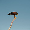 Harris Hawk, Javelina Ranch, Mission, Texas