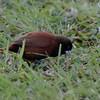 Chestnut Mannikin on Kauai.