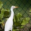 Cattle Egret on Kauai.