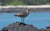 Bristle-Thighed Curlew