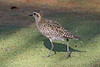 Pacific Golden-Plover  or  Kolea