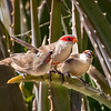 Common Waxbill and Juveniles