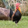 Hawaiian Rooster