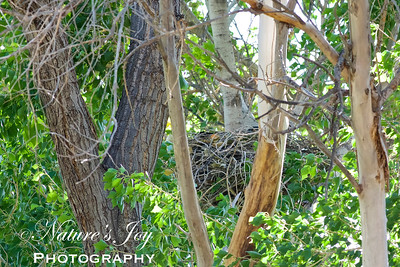 Common Black Hawk nest