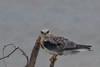 White Tailed Kite (b1281)