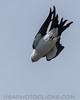 Swallow Tailed Kite (b1272)