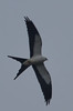 Swallow Tailed Kite (b1271)