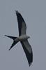Swallow Tailed Kite (b1271)