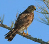 Sharp Shinned Hawk (b0971)