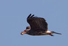 Snale Kite (b1262)