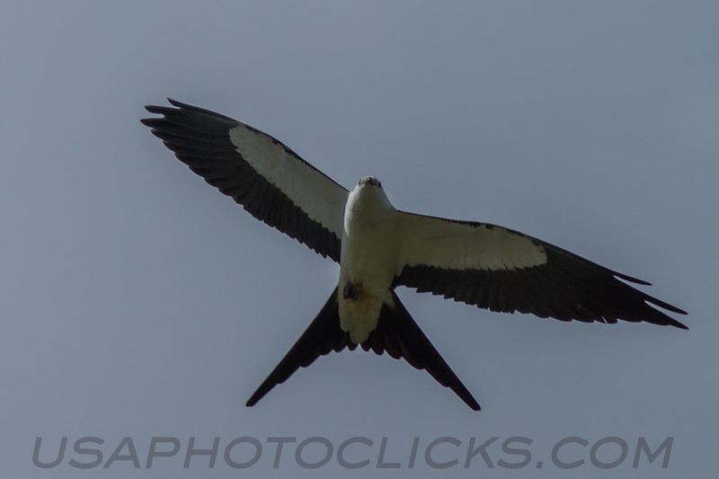 Swallow Tailed Kite (b1273)