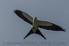 Swallow Tailed Kite (b1273)