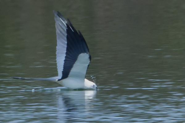 Swallow Tailed Kite (b1274)