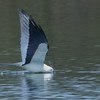 Swallow Tailed Kite (b1274)