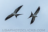 Swallow Tailed Kite (b1276)