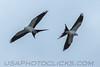 Swallow Tailed Kite (b1276)