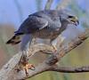 Gray Hawk (b0932)