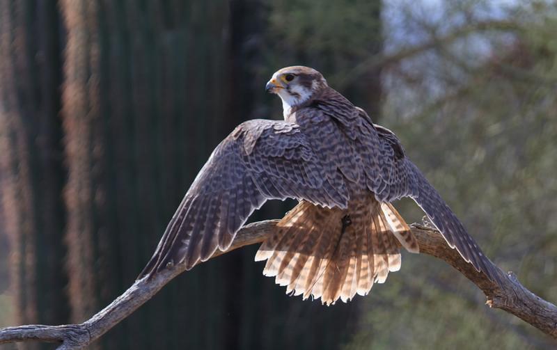 Prairie Falcon (b0582)