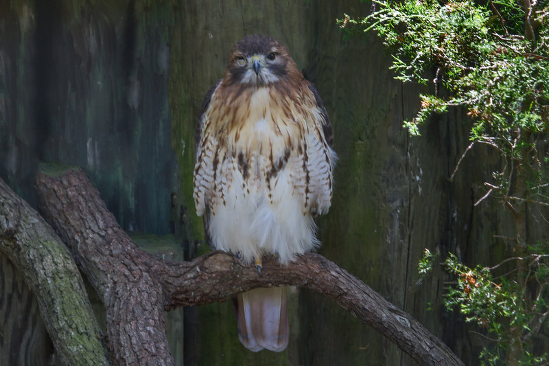 Red Tailed Hawk (b0962)