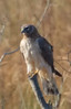 Northern Harrier (b0892)